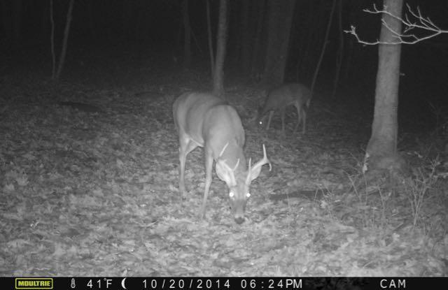 Deer eating at night