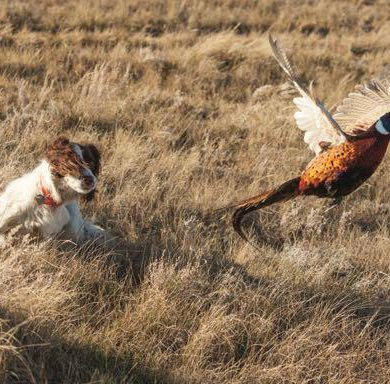 Learn to recognize when your dog is on a bird's trail. Credit: Mike Sturk.