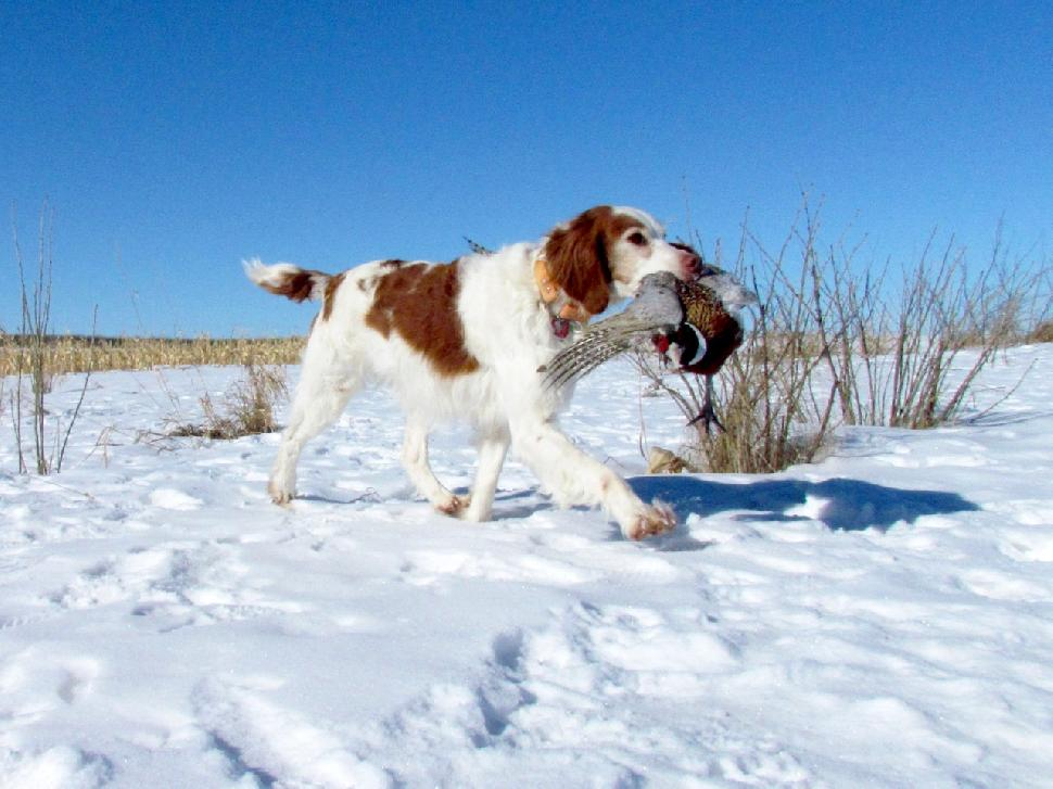 Credit: Wes David Along with retrieving, dogs are great for flushing pheasants from snowy cover