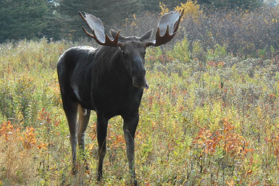 Credit: Vince Chrichton. Moose hunting regs may be the first to change.
