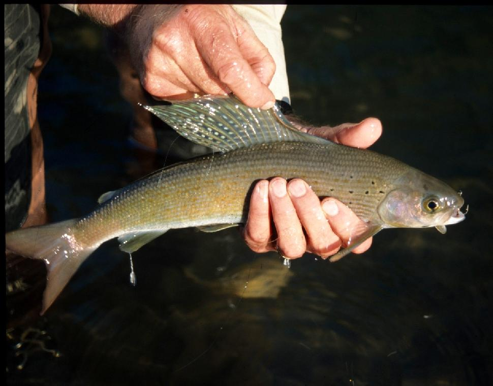 Credit: Duane Radford. Grayling fishing continues in the Eastern Slopes zone.