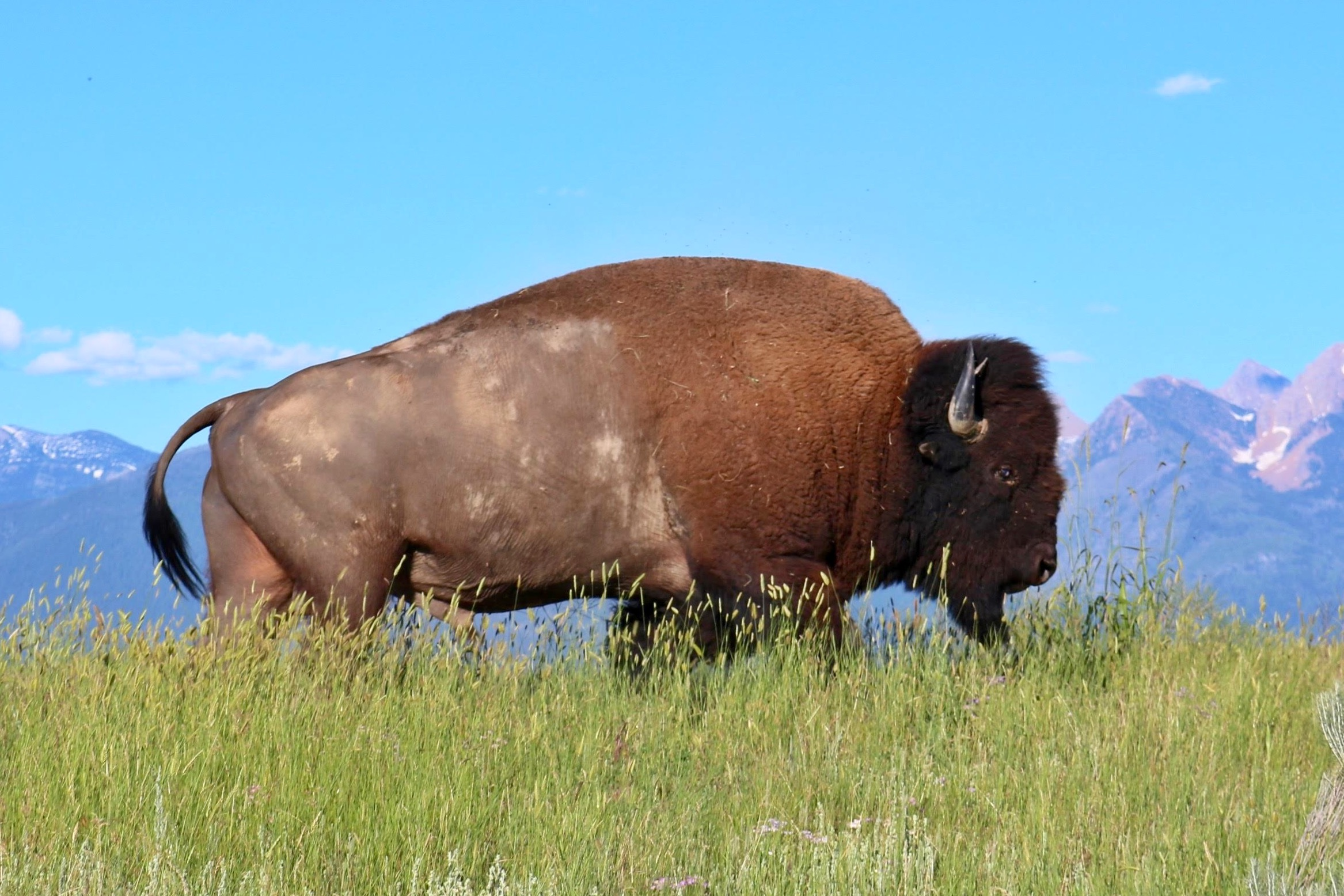 The best cartridge and bullet to drop a bison • Outdoor Canada